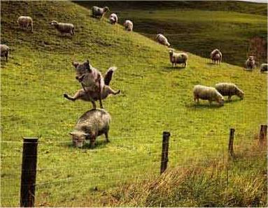 Leap of Sheep